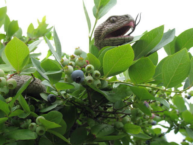 Snakes On The Blueberries