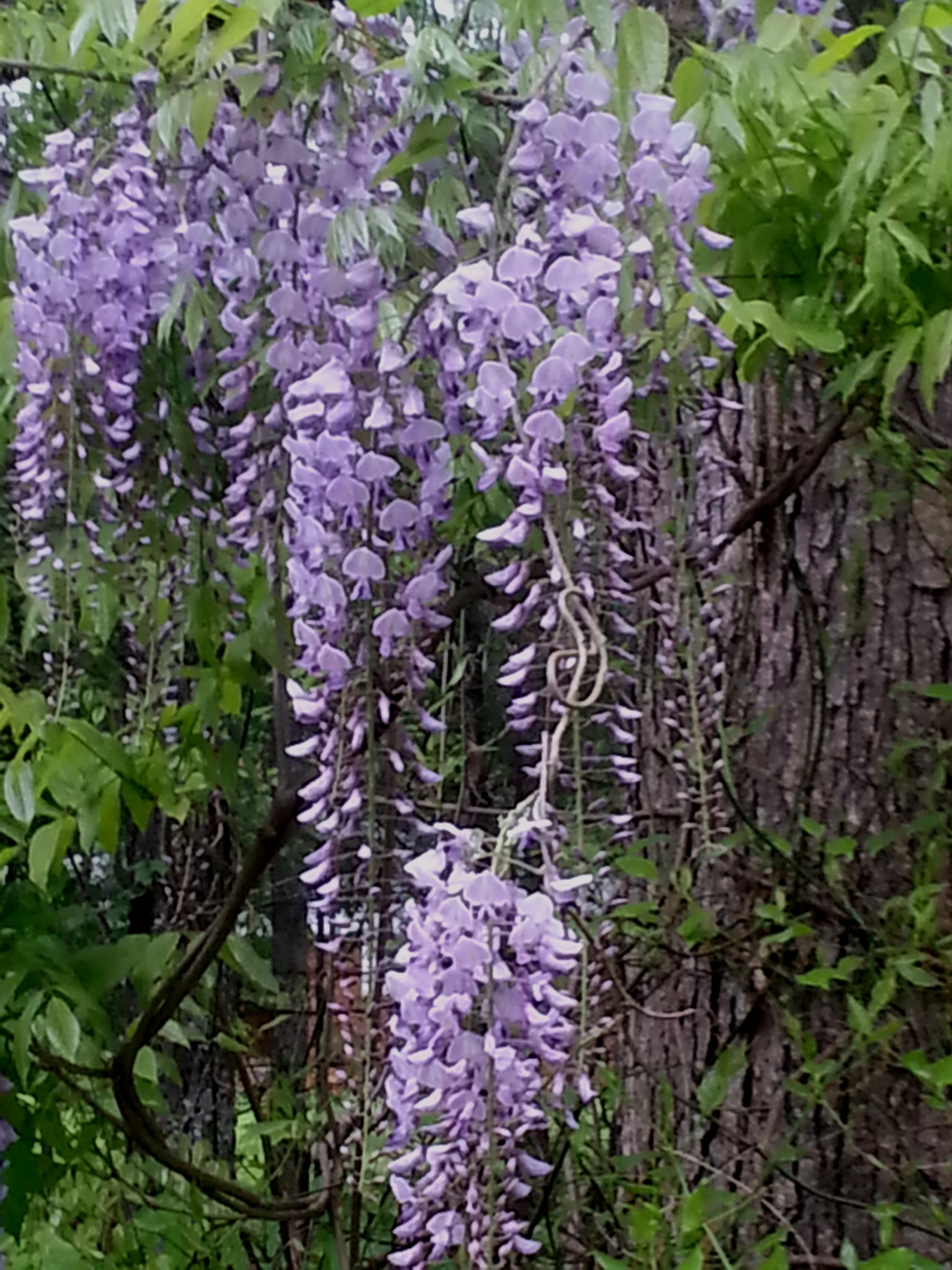 The Wisteria Effect Under The Lavender Spell Wake Up