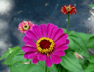 3 Zinnias against pavement