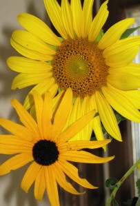 Sunflower and Black eyed Susan