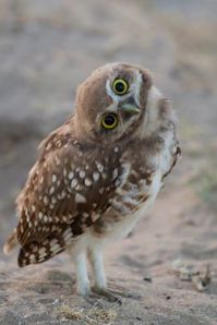 owl looking sideways
