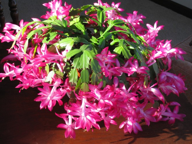 Christmas Cactus 3 Full Bloom  2010