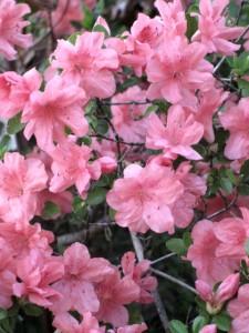 Pink Azaleas 1